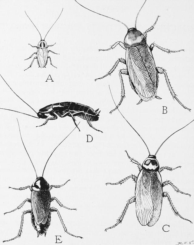 Ilustración de los tipos de cucarachas.
