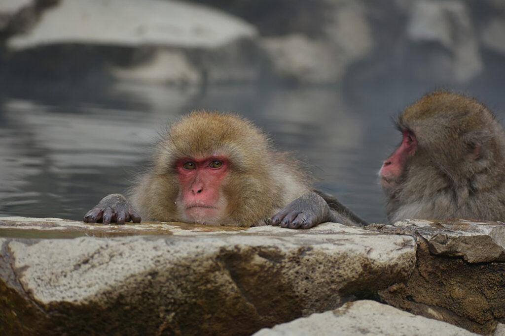 Mono de la nieve relajándose en las aguas termales.