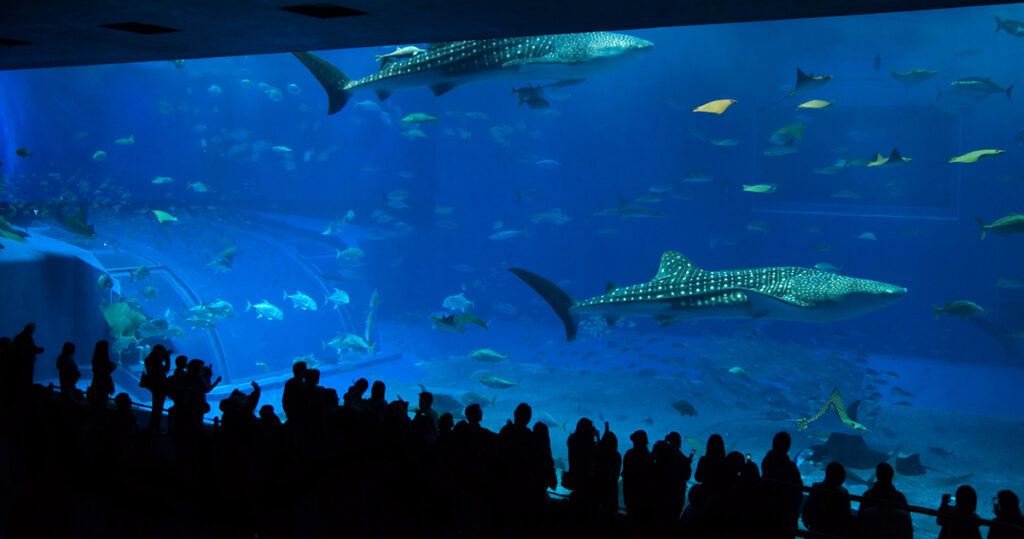 Los turistas disfrutan del espectáculo brindado por el gran tanque Kuroshio Sea.